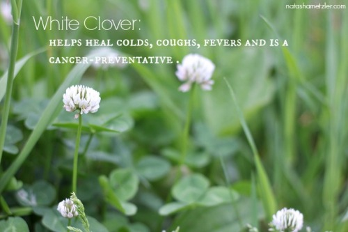 White Clover Benefits