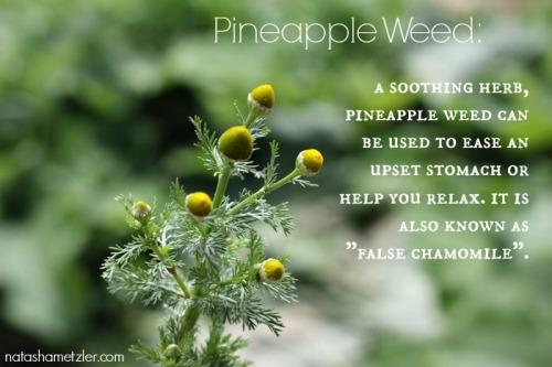 pineapple weed benefits