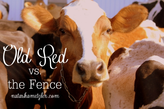 old red vs. the fence #humor #farming