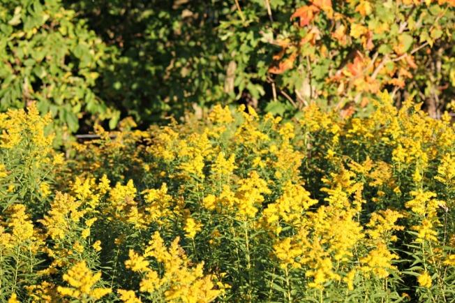 golden stalks of mustard
